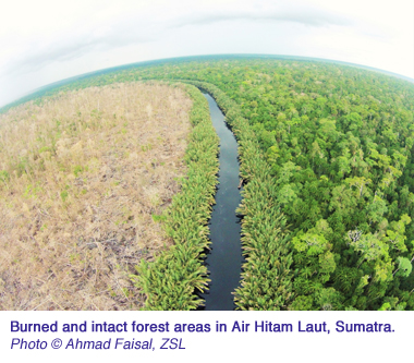 Burned and intact forest areas in Air Hitam Laut Sumatra. Copyright Ahmad Faisal ZSL copy