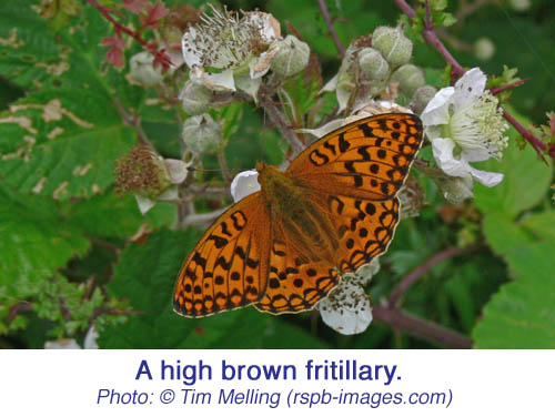 HighBrownFritillary TimMelling copy