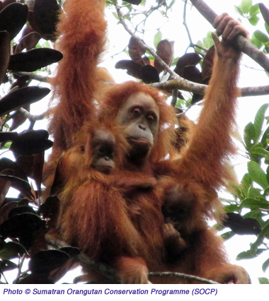 Orangutan Twins2  copy
