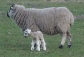 web sheep  lamb