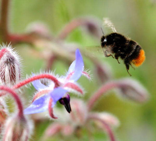 DNA survey of bumblebees shows flower-rich habitats key for pollinators in farmscape