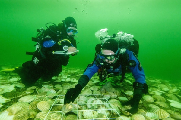 Whisky distillery recreates 20,000 strong oyster reef after local 100 year extinction