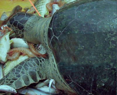 UK appetite for tropical prawns causing deaths of marine turtles
