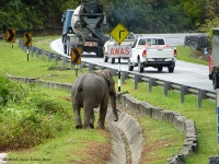 Elephant's crossing the road is researched in Malaysia