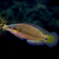 Ocean acidification from CO2 alters sexual behaviour of Italian male wrasse