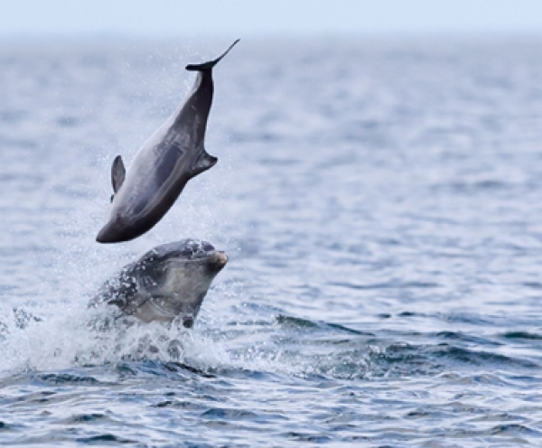 Rare photographs capture dolphin attacks on Moray Firth porpoises